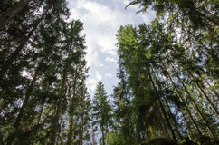 Tall spruce trees Royalty Free Stock Image