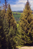 Tall spruces Royalty Free Stock Photography