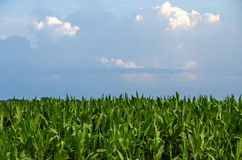 Tall Stalks of corn in a field Stock Image