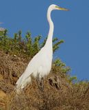 Great White Egret stands tall in a thicket on Grandview Beach, Encinitas California stock photo