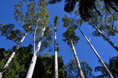 Tall straight eucalypt trees taper into blue sky. These tall straight eucalypts are typical of the type harvested for structural use. They are over 100 feet high Stock Photo
