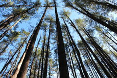 Tall,sturdy pines in the dense forest Stock Photo