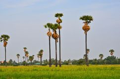 Tall sugar palm in green grass field. With blue sky background Royalty Free Stock Image