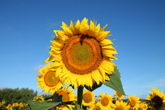 Tall Sunflower Rising Above the Field Royalty Free Stock Photography