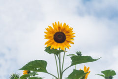 Tall sunflowers on a background cloudy sky Stock Photos