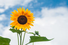 Tall sunflowers on a background cloudy sky Stock Image