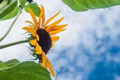 Tall sunflowers on a background cloudy sky Royalty Free Stock Photos