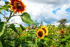 Tall sunflowers on flower meadow Stock Image