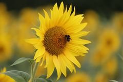 Sunflower maze ina field full of tall sunflower faces stock photography