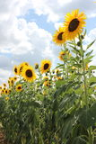 Tall Sunflowers Royalty Free Stock Image