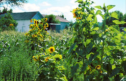 Tall sunflowers in a yard Stock Image