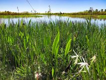 Tall swamp grass. Tall reeds and swamp lilies on the river shore stock photo