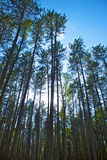 Tall Swaying Pines Stock Photo