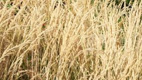 Tall swaying wild grass stock footage