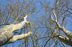 Tall sycamores against the blue sky Royalty Free Stock Images