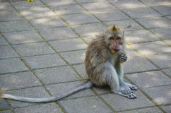 The tall tail monkey. Filmed in the Bali Island Monkey Mountain Royalty Free Stock Image