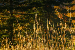 Tall, Thin Dried Grasses in Sunlight Stock Images