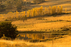 Tall and thin Poplar trees turning to Autumn golden yellow color Stock Photography