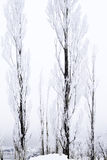 Tall thin snow covered trees Stock Image