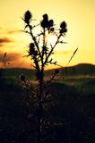 Tall thistle, dry grass silhouette , long stalks sunrise meadow Stock Photography