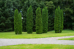 Tall thuja in in the park. Picture of thuja in arboretum Wirty, Poland Stock Photos