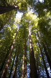 Tall Timbers. Redwood forest, POV ground looking up into tree heads, backlit Stock Images