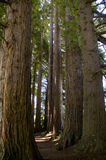 Tall Timbers. Redwood forest with pathway through. dappled light Royalty Free Stock Photos