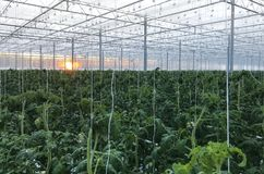 Tall tomato bushes with ripening fruits tomatoes in a greenhouse of protected soil cubes watering drip stock photo