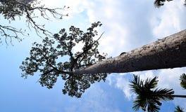 Tall Towering Tree against Sky - Dipterocarpus Turbinatus - Gurjan - Hardwood Ply Timber - Bottom View stock image