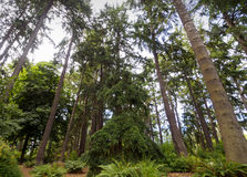 Tall Towering Trees in the Forest. The green scenery in the a forest of towering coniferous pine trees Stock Photos