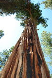 Tall Tree Stock Image