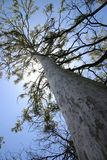 Tall Tree. Looking up a tall tree to the canopy above, Gum Tree, Australia Stock Image