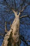 Tall Tree Royalty Free Stock Image