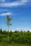 Tall tree. Young forest with one older, tall tree standing out royalty free stock photos