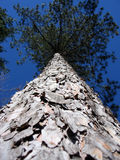 Tall Tree. A huge evergreen on a clear blue day royalty free stock photos