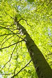 Tall tree Stock Photography