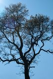 TALL TREE AGAINST MORNING SKY. View of tall tree with dry leaves on branches against the early morning sky Royalty Free Stock Photography