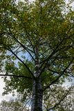 Tall tree during the autumn season with leaves changing colors stock image