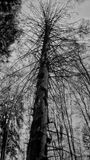 Tall tree. Black and white Royalty Free Stock Photography