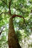 Tall tree with canopy Stock Images