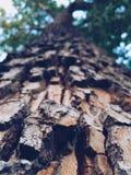 Tall Tree. A tall tree with detailed bark looms up toward the blue sky Stock Photos