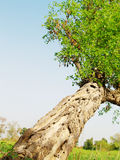 Tall tree in field Royalty Free Stock Photo