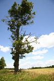 A tall tree in the field. Under blue sky Royalty Free Stock Photos