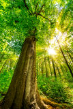 Tall tree in forest stock photos