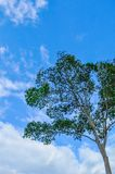 Tall tree with green leaves and the blue sky in the background stock photo