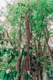 A tall tree with green leaves royalty free stock images