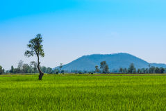 Tall Tree in Green Rice Field with Mountain Background Stock Photography