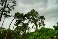 Florida largo botanic garden. Tall tree in largo botanic garden, Florida, USA Royalty Free Stock Images