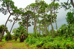 Florida largo plant garden. Tall tree in largo plant garden, Florida, USA Royalty Free Stock Images