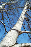 Tall Tree in Late Autumn. A silver birch tree is in a sunny autumn day Stock Photography
